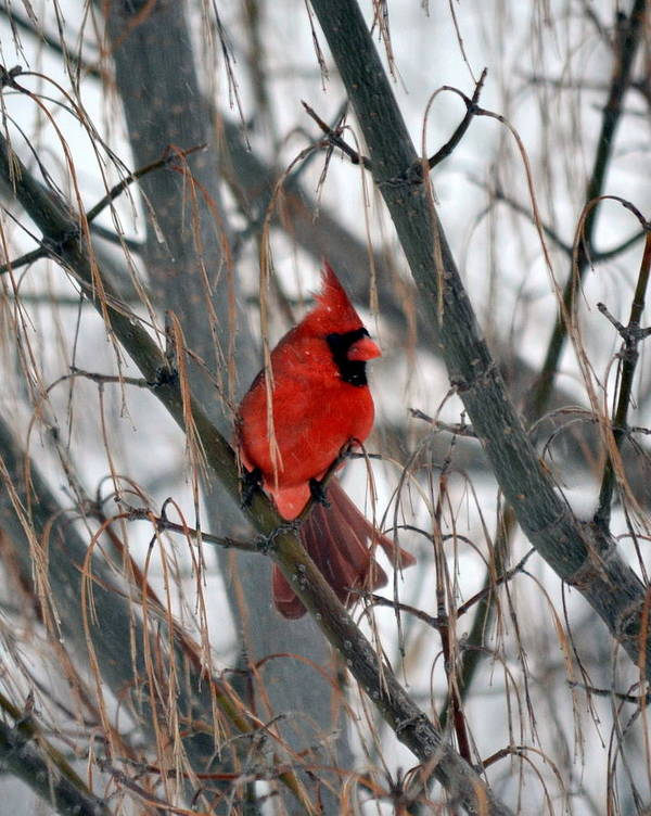 Cardinal Art Print featuring the photograph Cardinal by Christina Davis