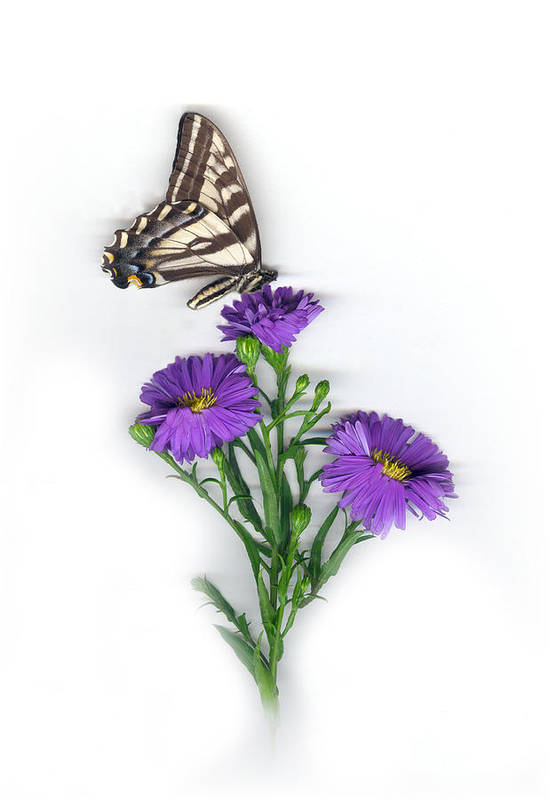 Aster Flower Art Print featuring the mixed media Aster And Butterfly by Sandi F Hutchins
