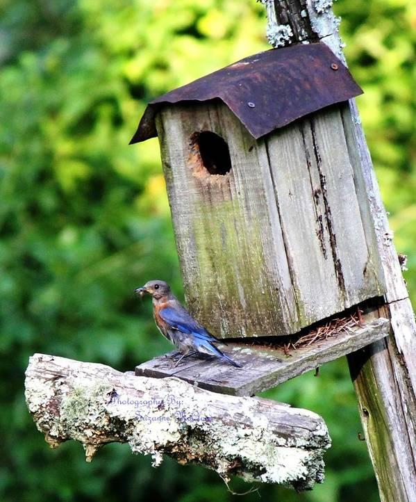 Blue Bird Art Print featuring the photograph Bluebird by Suzanne McClain
