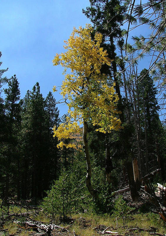 Mary Dove Art Art Print featuring the photograph Flagstaff Aspens 786 by Mary Dove