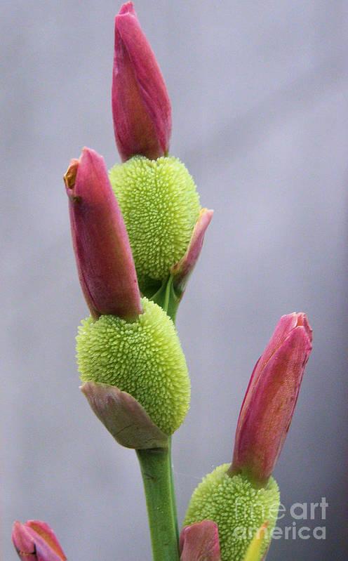 Saging Saging Art Print featuring the photograph Saging-saging Flower Buds Macro by Kathy Daxon