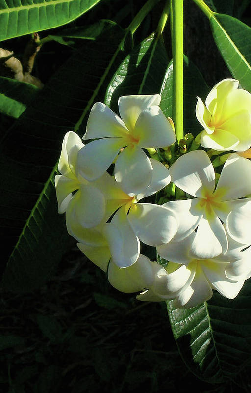 Plumeria Art Print featuring the photograph Good Morning Sunshine by James Temple