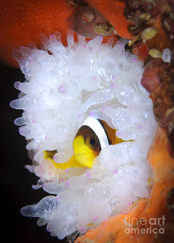 Osteichthyes Print featuring the photograph Clarks Anemonefish In White Anemone by Steve Jones