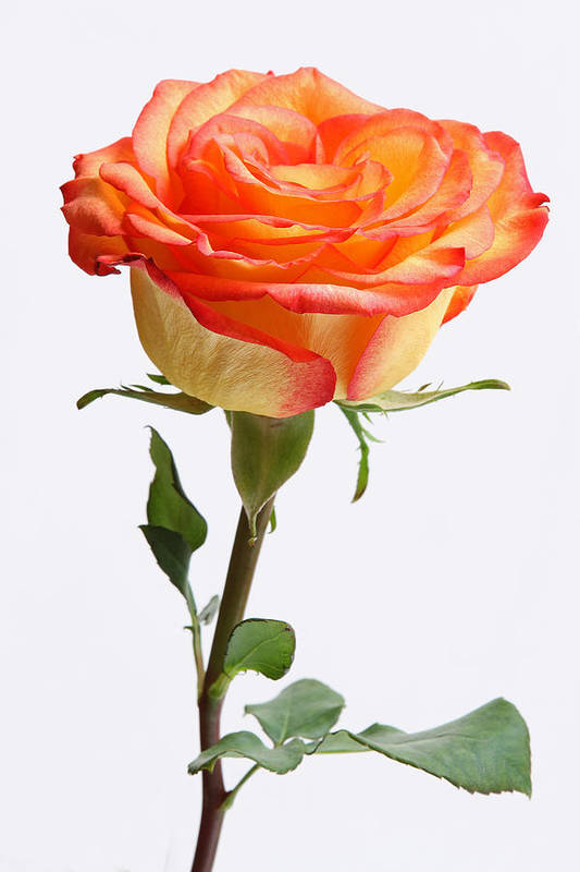 Rose Print featuring the photograph A Rose Is A Rose Is A Rose by Juergen Roth