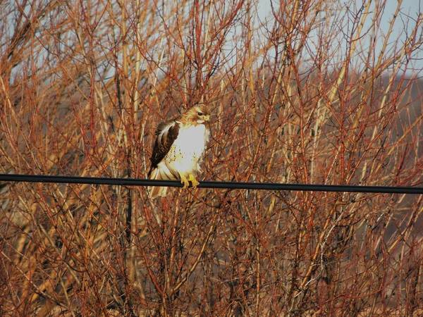 Red Tail Hawk Print featuring the photograph Hawk #22 by Todd Sherlock
