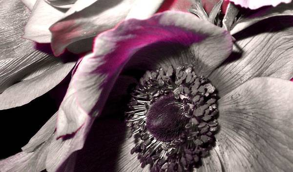 Flower Print featuring the photograph Poppy Eye by Sharon Costa