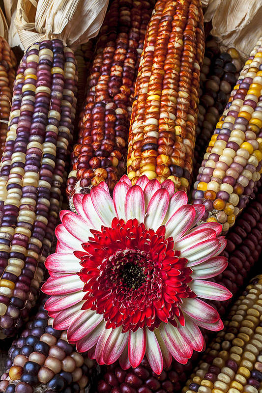 Indian Print featuring the photograph Red And White Mum With Indian Corn by Garry Gay