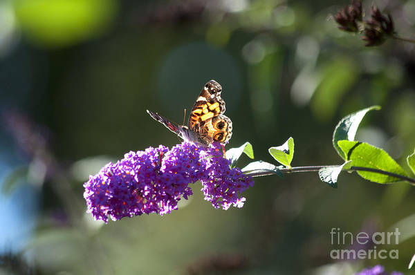 Butterfly Print featuring the photograph Sipping On Syrup by Affini Woodley