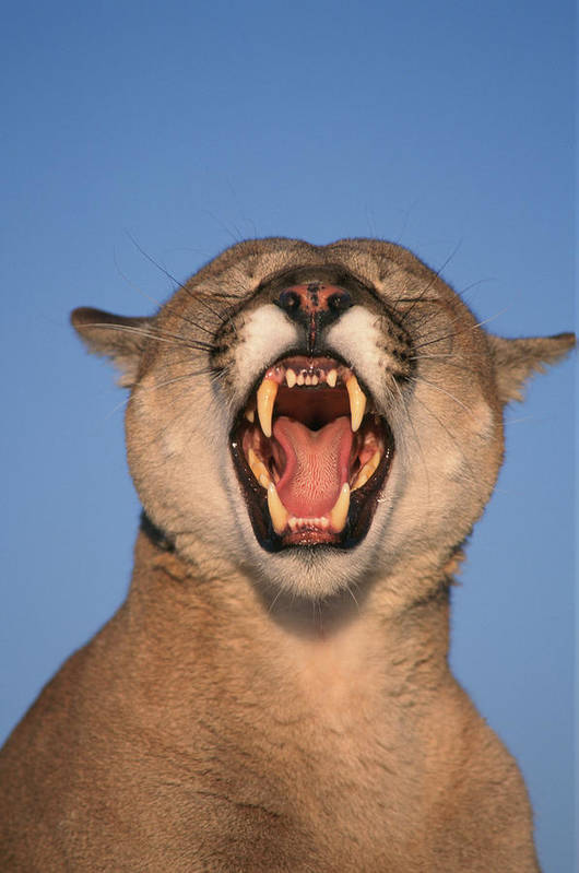Close Shots Print featuring the photograph V.hurst Tk21663d, Mountain Lion Growling by Victoria Hurst