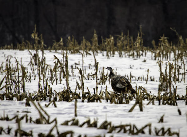 Wild Turkey (meleagris Gallopavo) Print featuring the photograph Wild Turkey In The Corn by Thomas Young