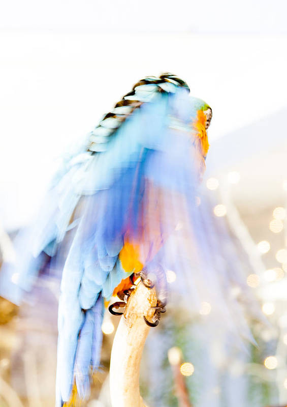 Macaw Print featuring the photograph Wing Dream by Fran Riley