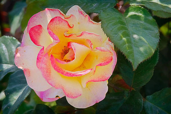 One Print featuring the photograph You Love The Roses - So Do I by Christine Till