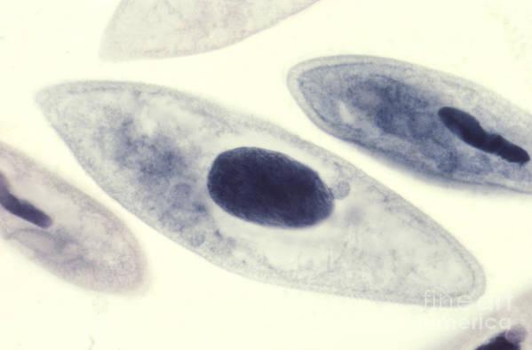 Paramecia Print featuring the photograph Paramecium Caudatum by M. I. Walker