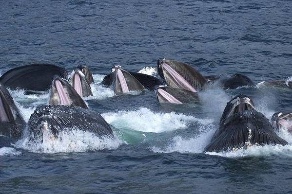 Pacific Ocean Print featuring the photograph A Group Of Humpback Whales Bubble Net by Ralph Lee Hopkins