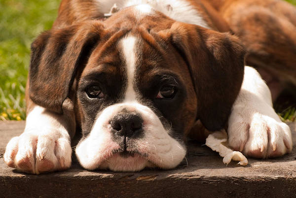 Pup Print featuring the photograph Brindle Boxer Pup by Bel Menpes