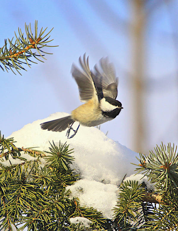 Additional Tags: Print featuring the photograph Chickadee-13 by Robert Pearson