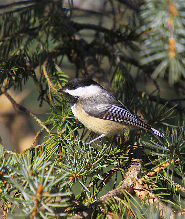 Additional Tags: Print featuring the photograph Chickadee-9 by Robert Pearson
