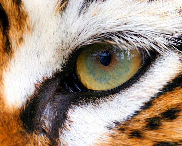 Tiger Print featuring the photograph Eye Of The Tiger by Helen Stapleton