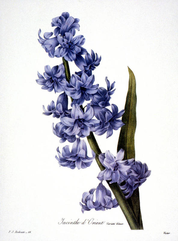 1833 Print featuring the photograph Hyacinth by Granger