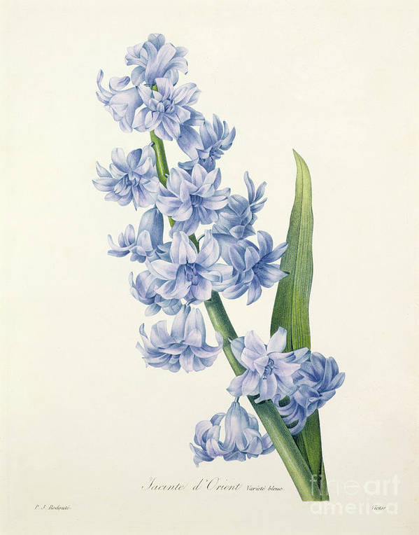 Hyacinthus Print featuring the drawing Hyacinth by Pierre Joseph Redoute