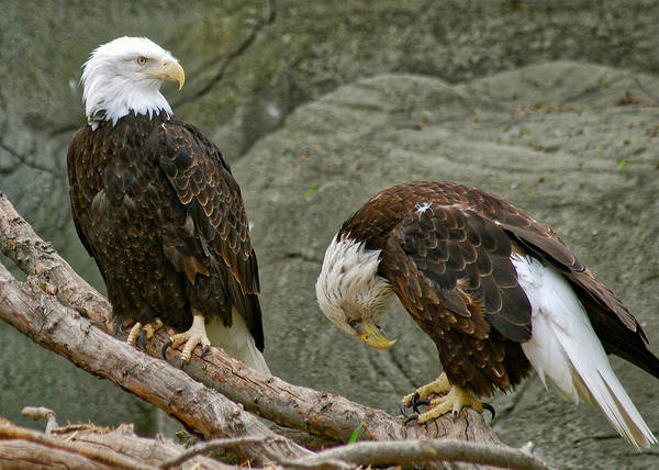 Eagle Print featuring the photograph I'm Sorry by Michael Peychich