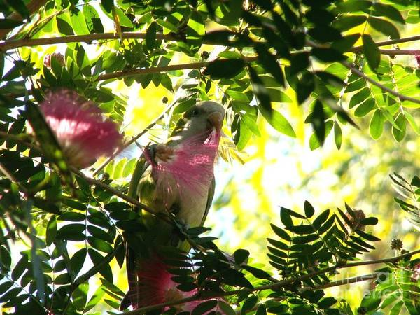 Quaker Parrot Print featuring the photograph Quaker Parrot With Mimosa Flower by Theresa Willingham