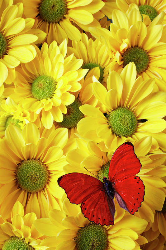 Red Butterfly Yellow Mums Flowers Print featuring the photograph Red Butterfly On Yellow Mums by Garry Gay