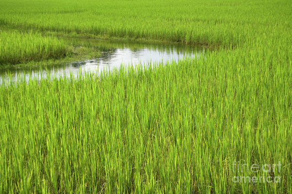 Nature Print featuring the photograph Rice Paddy Field In Siem Reap Cambodia by Julia Hiebaum