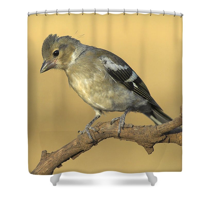 Birds Shower Curtain featuring the photograph Female Chaffinch by Guido Montanes Castillo