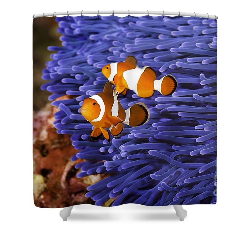 Anemone Shower Curtain featuring the photograph Ocellaris Clownfish by Anthony Totah
