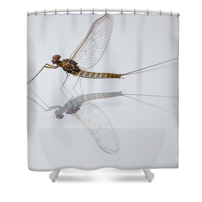 Baetidae Shower Curtain featuring the photograph 01 Cloeon Mayfly On My Window by Jivko Nakev