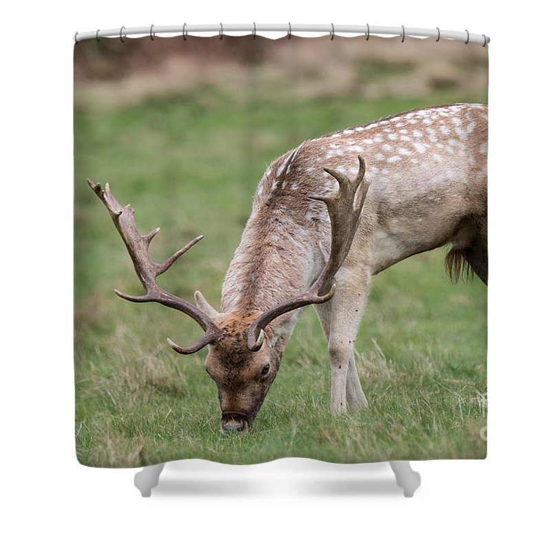 Cervidae Shower Curtain featuring the photograph 01 Fallow Deer by Jivko Nakev
