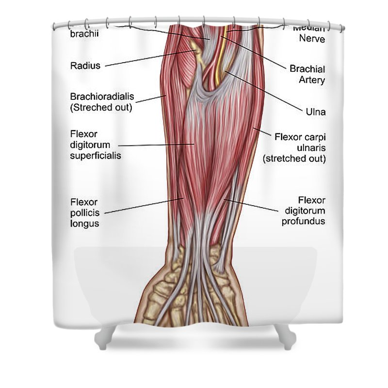 Anatomy Of Forearm Muscles Anterior Shower Curtain For Sale By