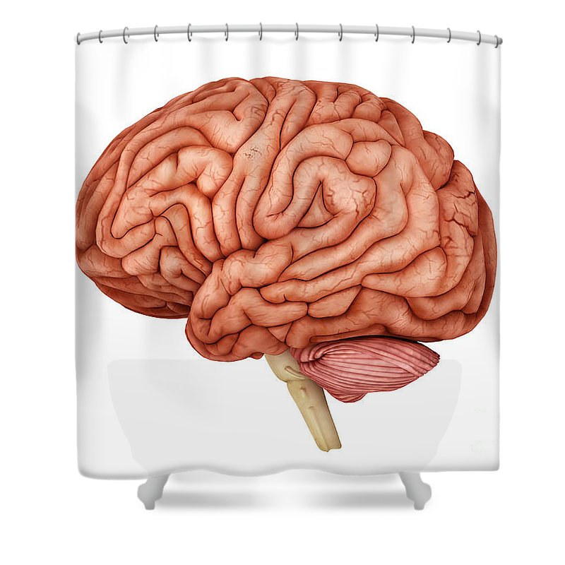Horizontal Shower Curtain featuring the digital art Anatomy Of Human Brain, Side View by Stocktrek Images