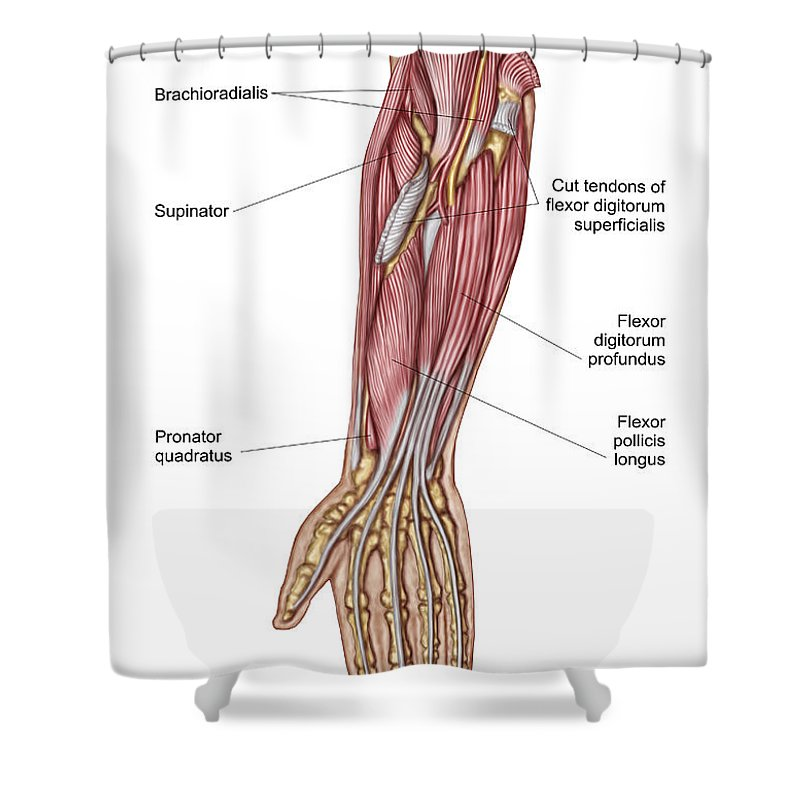 Anatomy Of Human Forearm Muscles, Deep Shower Curtain for Sale by ...