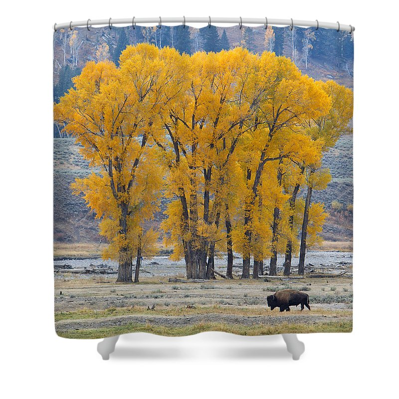 American Bison Shower Curtain featuring the photograph Autumn In The Lamar by Max Waugh