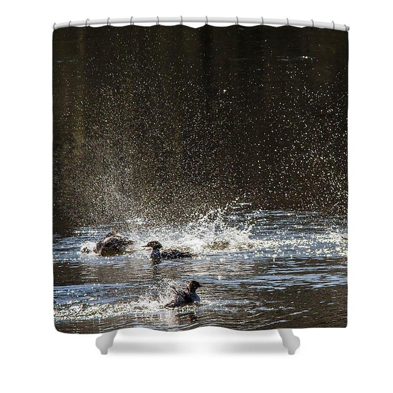 Ducks Shower Curtain featuring the photograph Bath Time by Brian Williamson