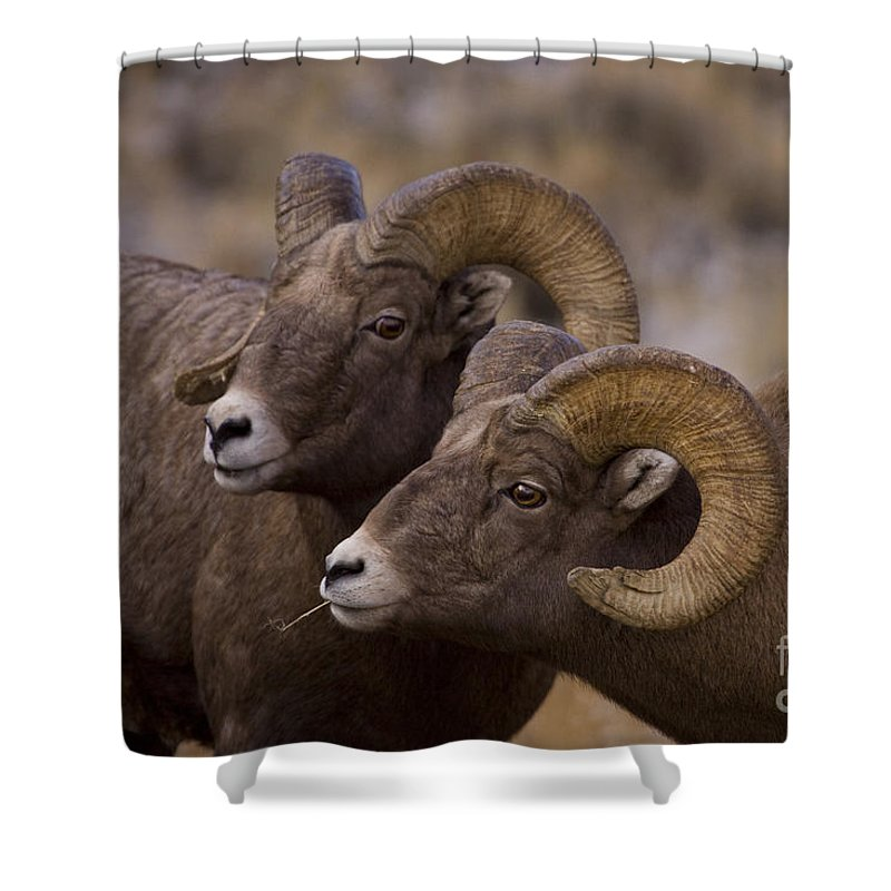 Ovis Canadensis Shower Curtain featuring the photograph Big Horn Rams  #4664 by J L Woody Wooden
