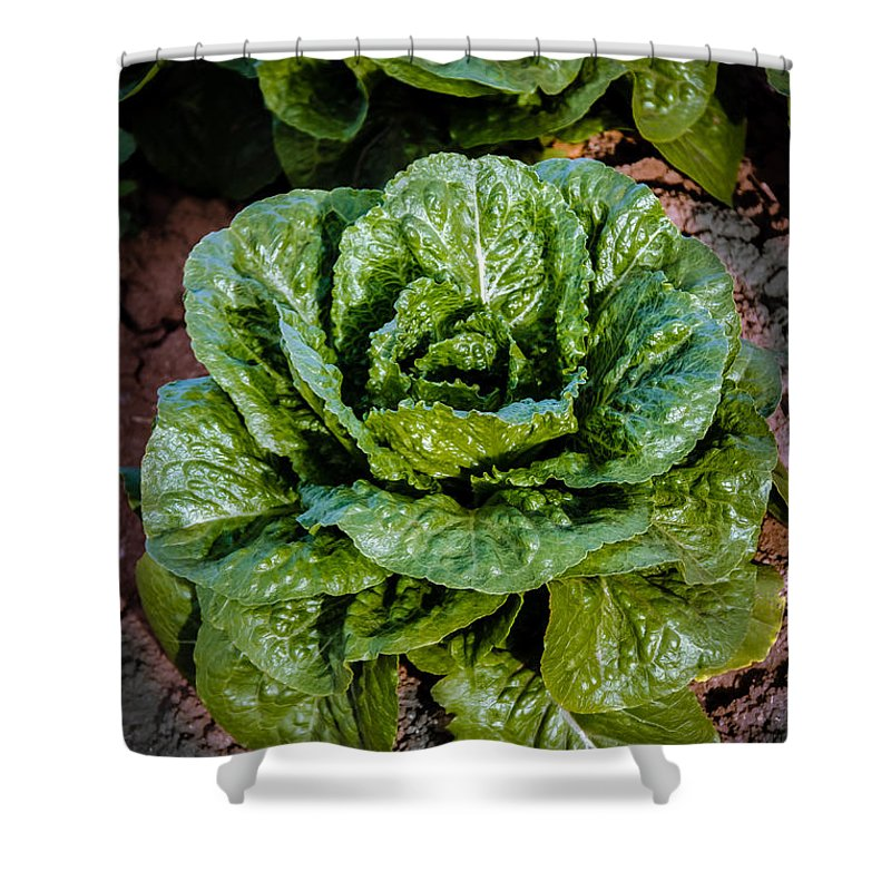 Lettuce Shower Curtain featuring the photograph Butterhead Lettuce by Robert Bales