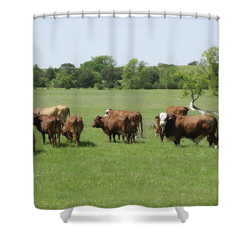 Herd Shower Curtain featuring the photograph Cattle Grazing by Charles Beeler