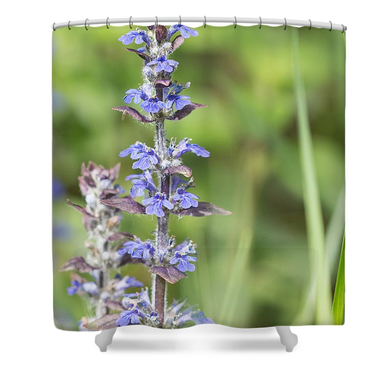 Ajuga Reptans Shower Curtain featuring the photograph Common Bugle by Jivko Nakev