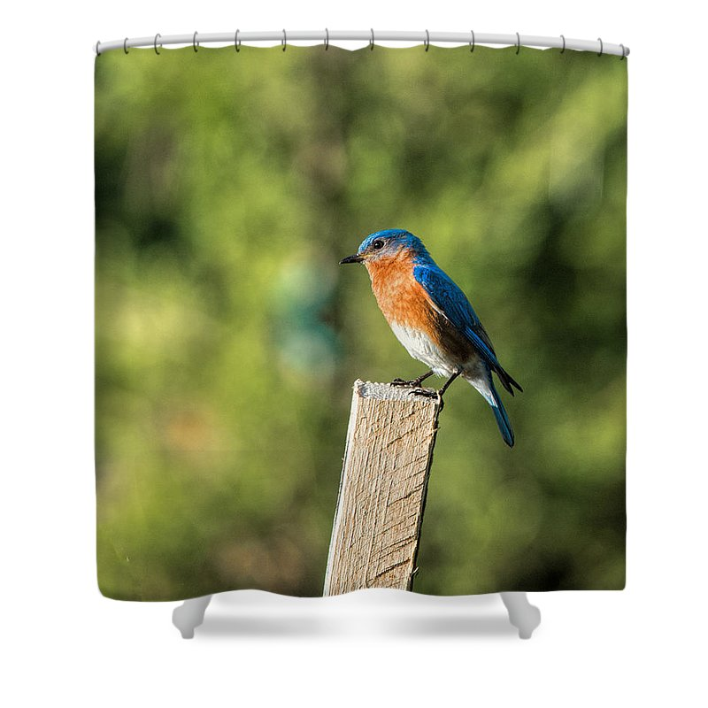 Eastern Bluebird Shower Curtain featuring the photograph Eastern Bluebird by David Kay