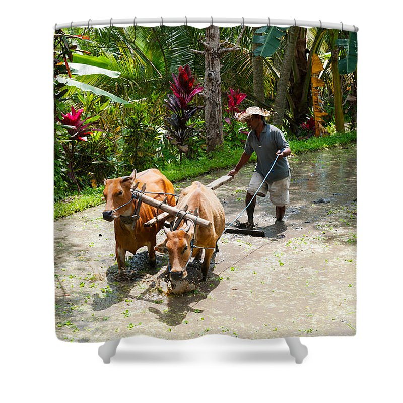 Photography Shower Curtain featuring the photograph Farmer With Oxen Working In Paddy by Panoramic Images