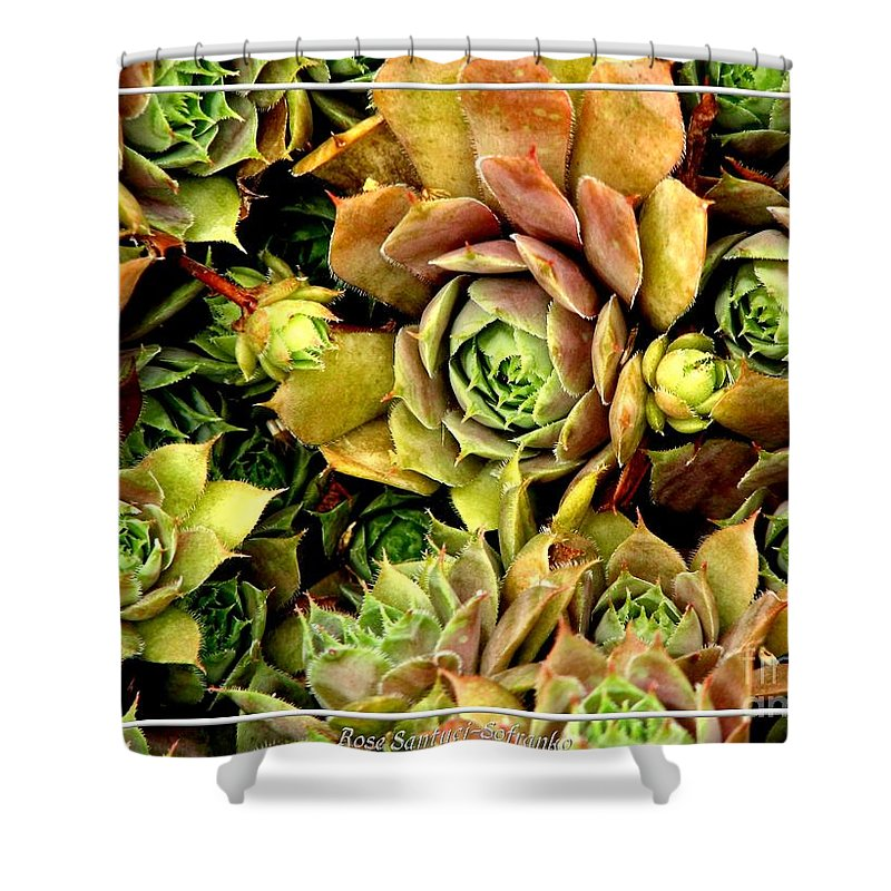 Hens And Chicks Shower Curtain featuring the photograph Hens And Chick Plants by Rose Santuci-Sofranko