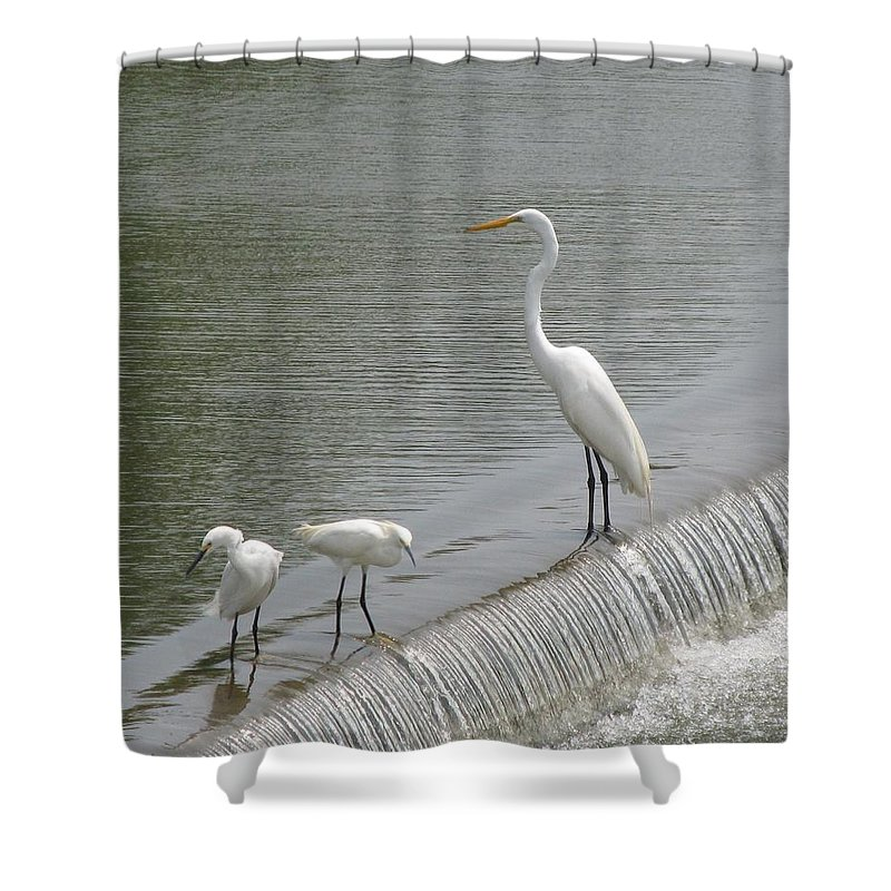Mother Crane And Babies Shower Curtain featuring the photograph Learning To Fish by Donna Wilson