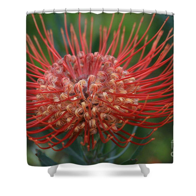 Aloha Shower Curtain featuring the photograph Leucospermum - Pincushion Protea - Tropical Sunburst Protea Flower Hawaii by Sharon Mau