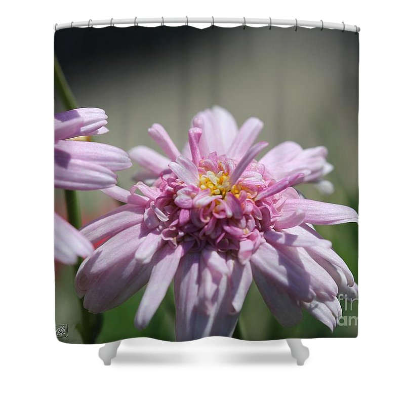 Mccombie Shower Curtain featuring the photograph Marguerite Daisy Named Double Pink by J McCombie