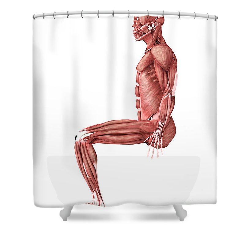 Side View Shower Curtain featuring the digital art Medical Illustration Of Male Muscles by Stocktrek Images
