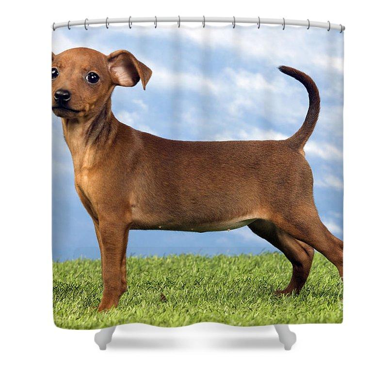Miniature Pinscher Puppy Shower Curtain For Sale By Jean Michel Labat