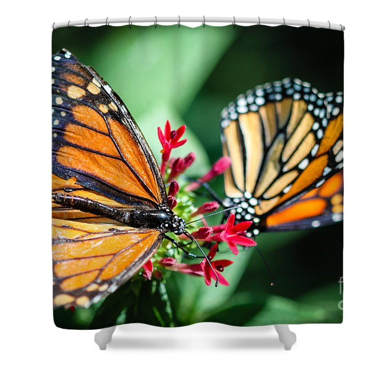 Monarch Shower Curtain featuring the photograph Monarch Danaus Plexippus by Henrik Lehnerer